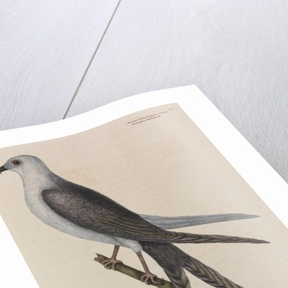 The swallow-tail hawk by Mark Catesby