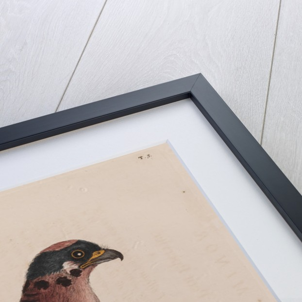The little hawk by Mark Catesby