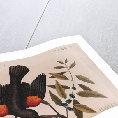 The 'red wing'd starling' and the 'broad-leaved candle-berry myrtle' by Mark Catesby