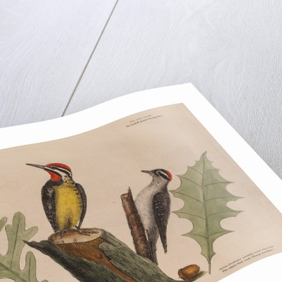 The 'yellow belly'd wood-pecker' and the 'smallest spotted wood-pecker' by Mark Catesby