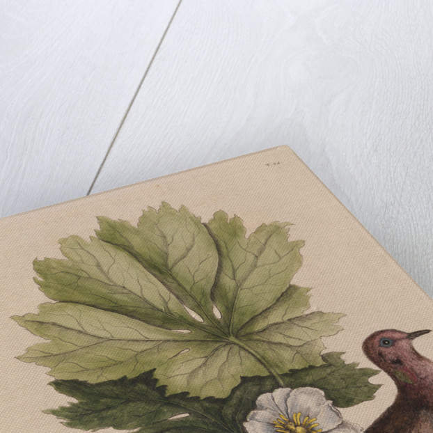 The 'turtle of Carolina' and the 'may apple' by Mark Catesby