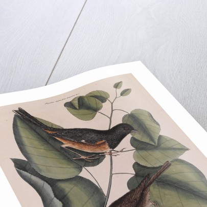 The 'towhe' bird, the 'cowpen' bird and the 'black poplar' of Carolina by Mark Catesby