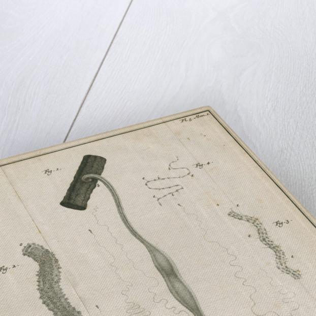 Freshwater hydra by Jacobus van der Schley