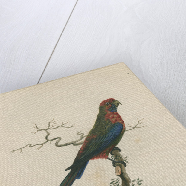 'Pennantian Parrot, Female' by Sarah Stone