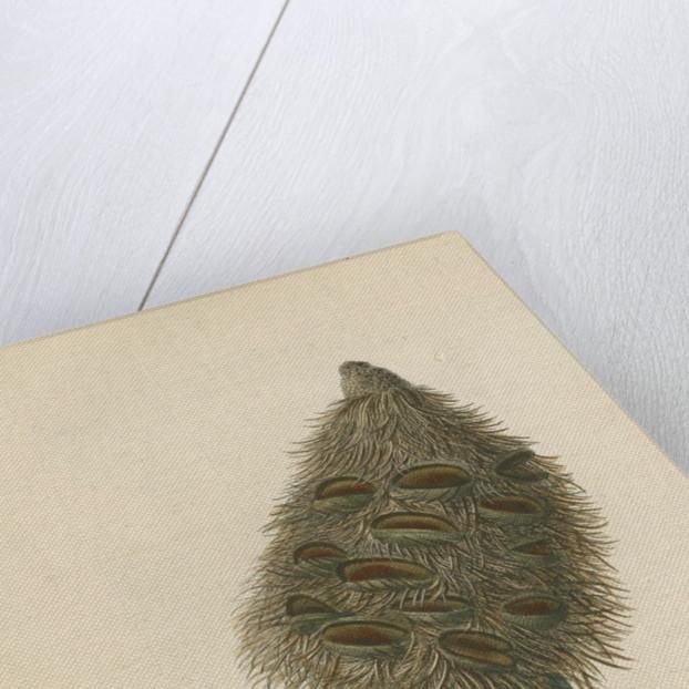 'The Banksia Serrata in Fruit' by Frederick Polydor Nodder
