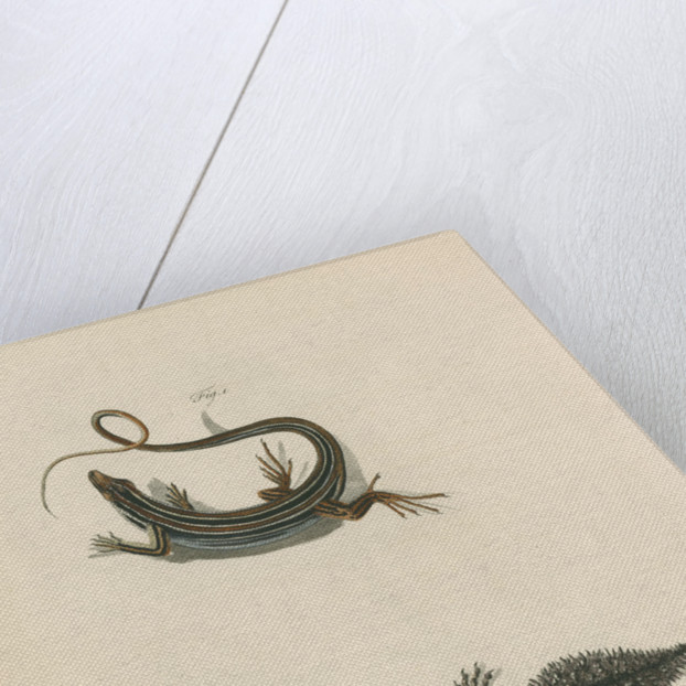 'Ribbon Lizard and Broad-tailed Lizard' by Sarah Stone