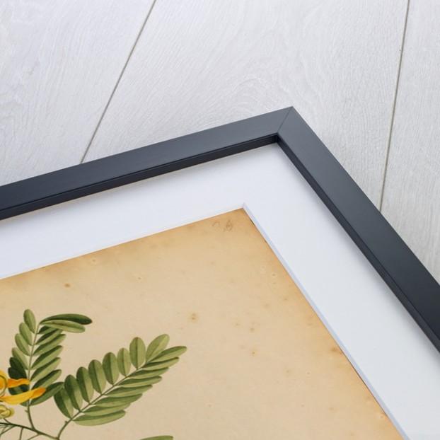 Senna-spuria arborescens by Georg Dionysius Ehret