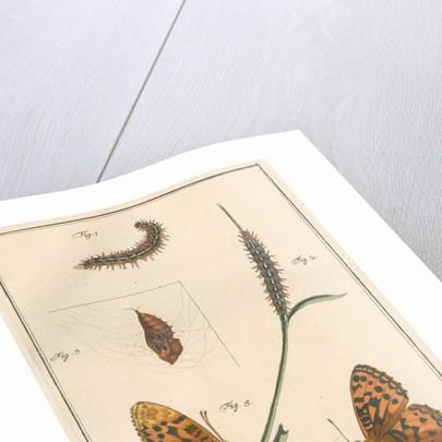 High brown fritillary by Johann Rudolf Schellenbur