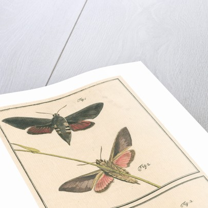 Studies of two moths by Johann Rudolf Schellenbur