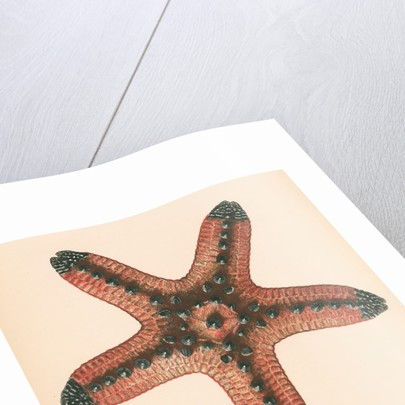 Oreaster muricatus by unknown