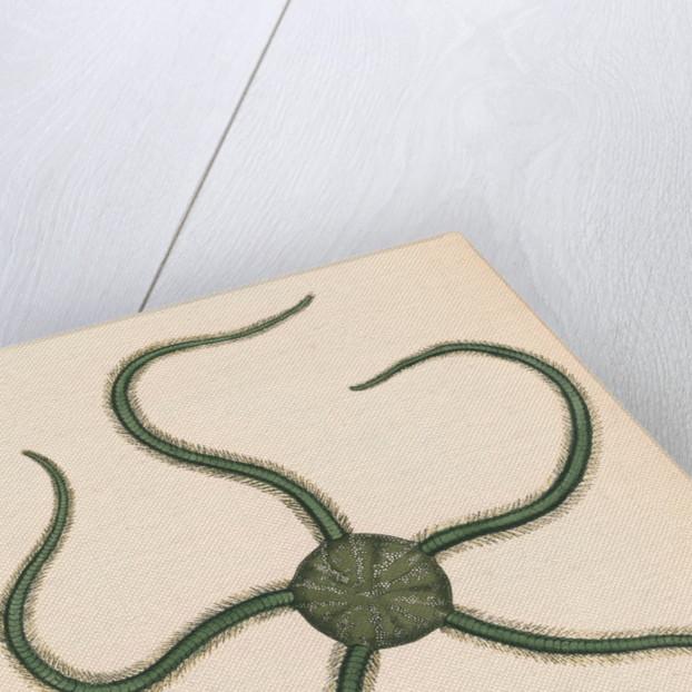 Ophiarachna incrassata by unknown