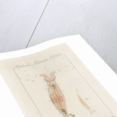 Freshwater rotifer by William Kelsall