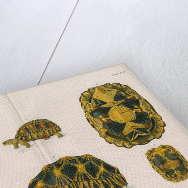 Radiated tortoise by Louis Léchaudel