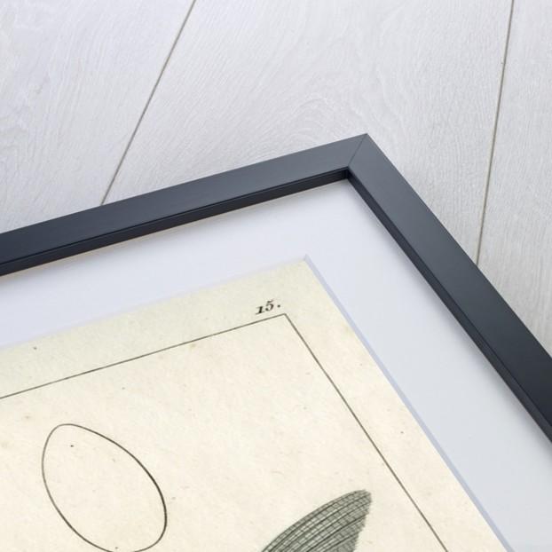 Zander by Francois Plée