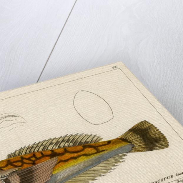 Longnosed stargazer by François Jacques Dequevauviller