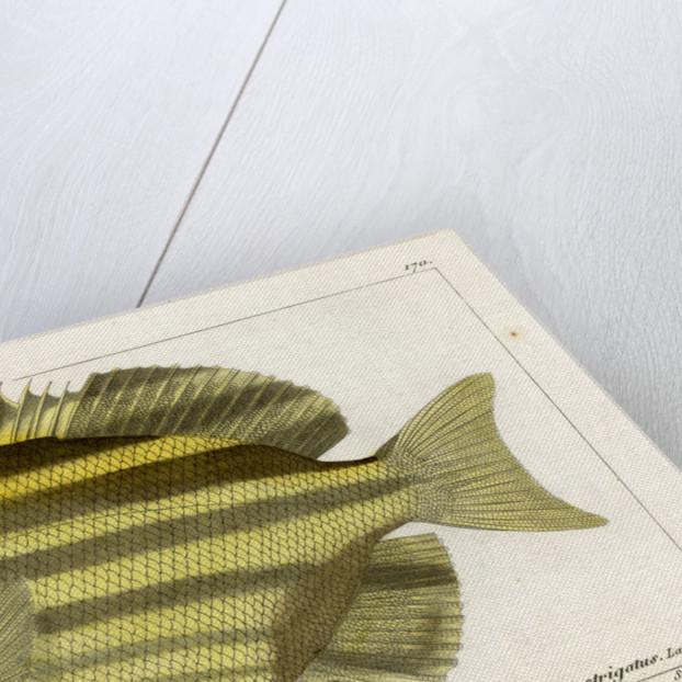 Stripey by Martin Schmeltz