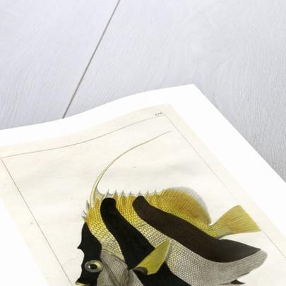 Masked bannerfish by Vittore Pedretti