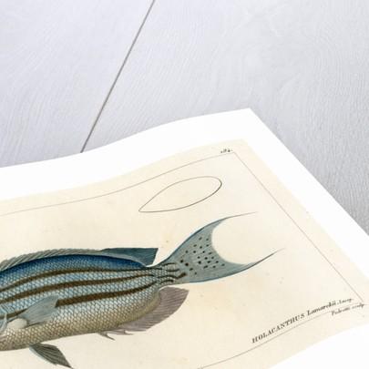 Lamarck's angelfish by Vittore Pedretti