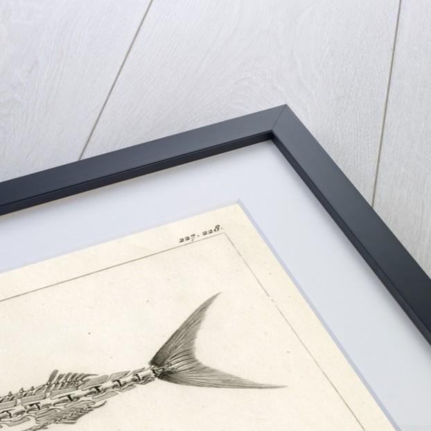 Mediterranean spearfish by François