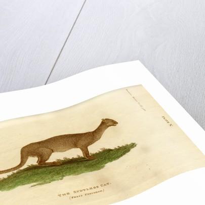 Jaguarundi by W & D Lizars