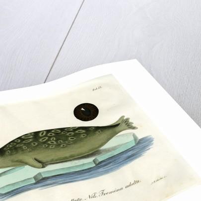 Ringed seal by Johann Friedrich Schröter