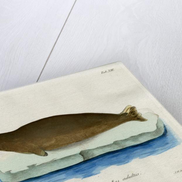 Harp seal by Johann Friedrich Schröter