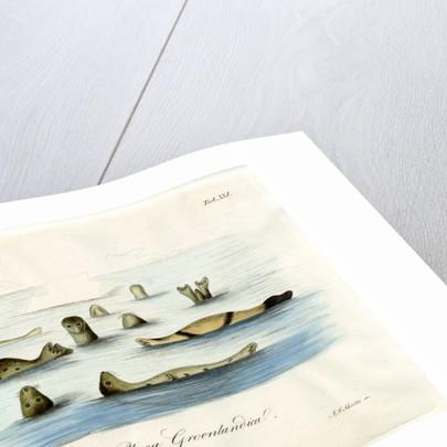 Harp seals by Johann Friedrich Schröter