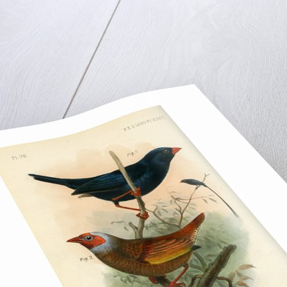 Indigobird and pytelia by Joseph Smit