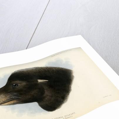 Head of the California sea lion by Joseph Smit