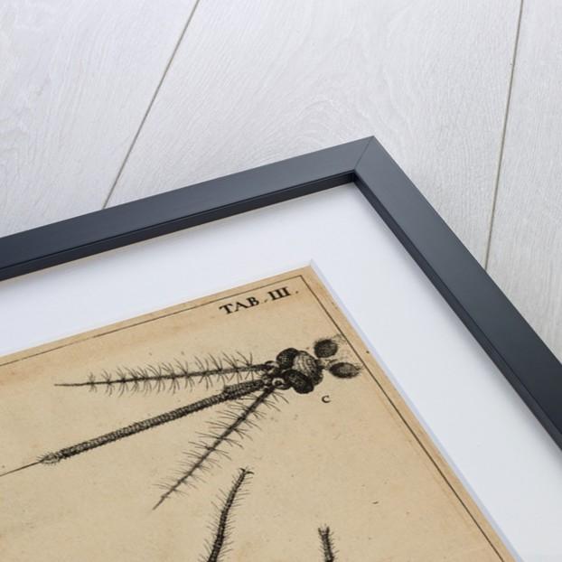 Mosquito by Jan Swammerdam