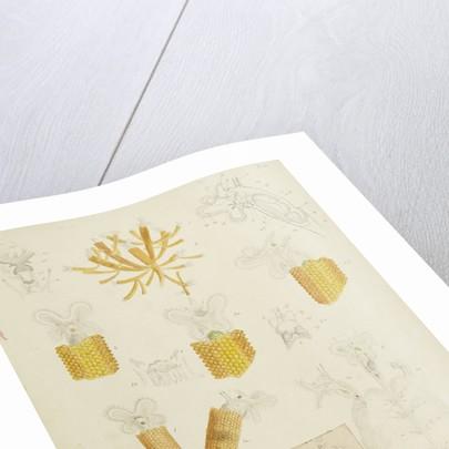 Floscularia rotifers by Charles Thomas Hudson
