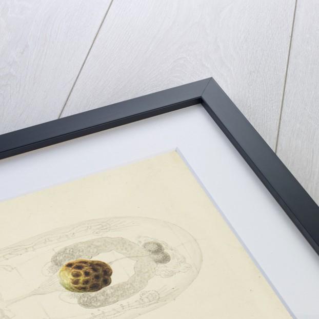 Rotifer by Charles Thomas Hudson