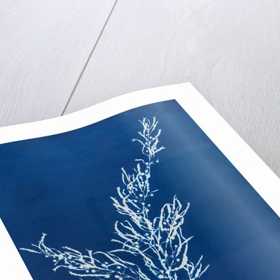 Sargassum bacciferum by Anna Atkins