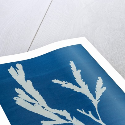 Toothed wrack by Anna Atkins