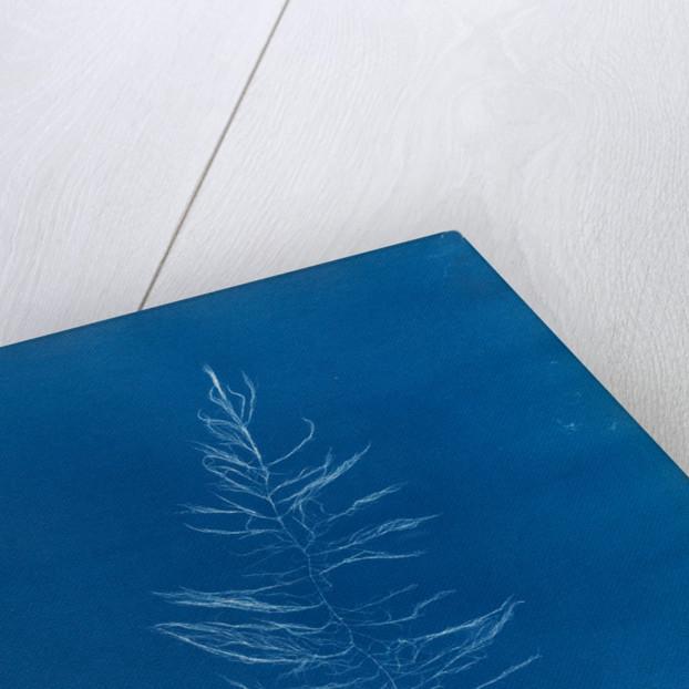 Sea sorrel by Anna Atkins
