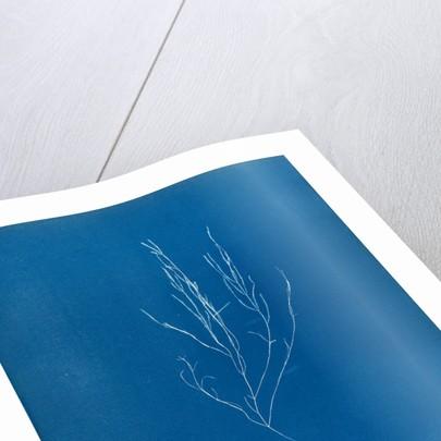 Elaionema villosum by Anna Atkins