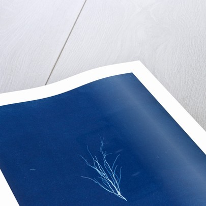 Stiatia attenuata by Anna Atkins