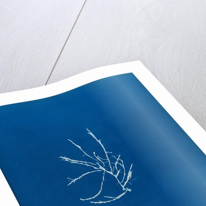 Helminthocladia vermicularis by Anna Atkins