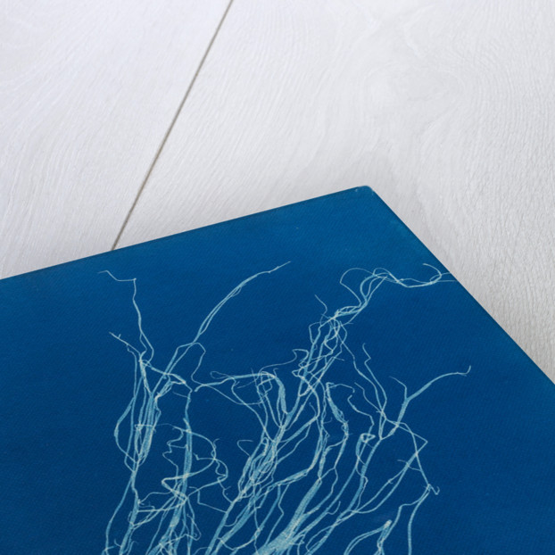 Helminthocladia griffithsiana by Anna Atkins