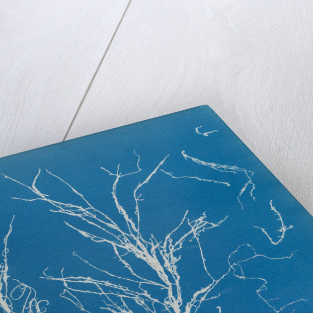 Helminthocladia virescens by Anna Atkins