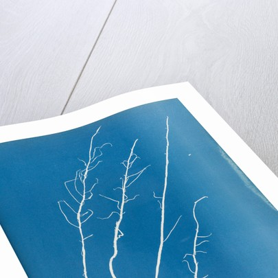 Mesogloia purpurea by Anna Atkins