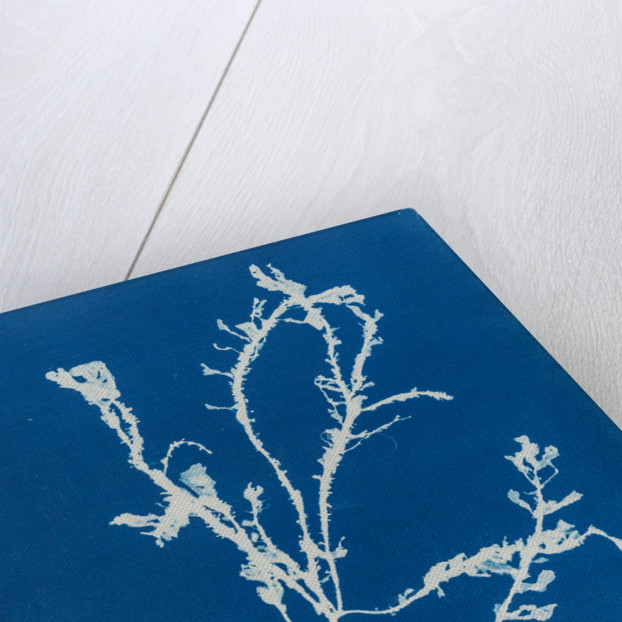 Sea beech by Anna Atkins