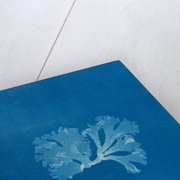Spotted scarf weed by Anna Atkins