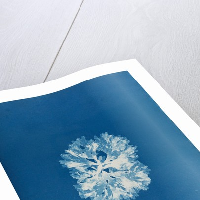 Nitophyllum bonnemaisoni by Anna Atkins