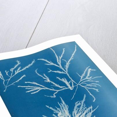 Rhodoymenia jubata by Anna Atkins