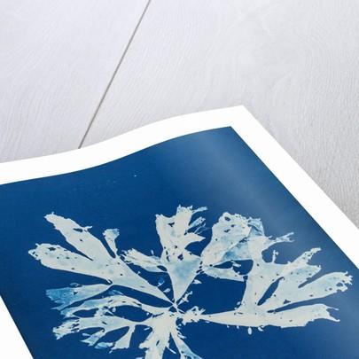 Rhodymenia palmata by Anna Atkins