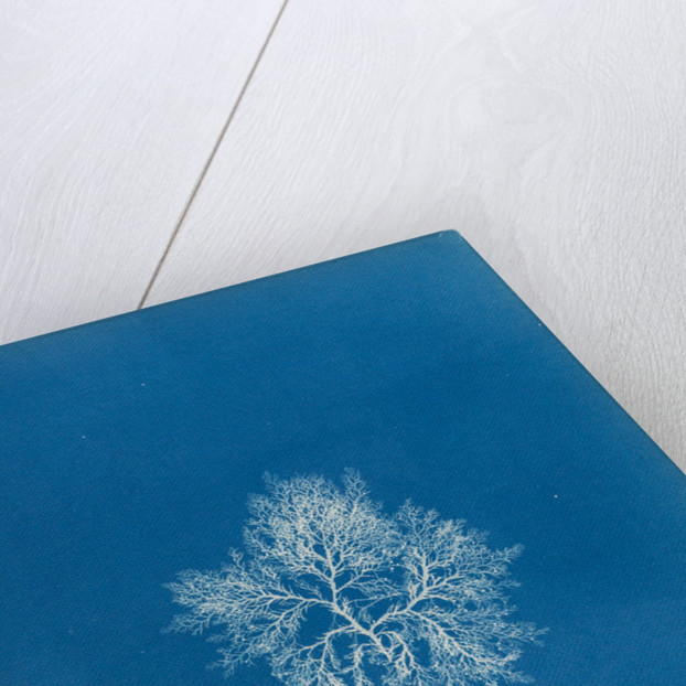 Cockscomb by Anna Atkins