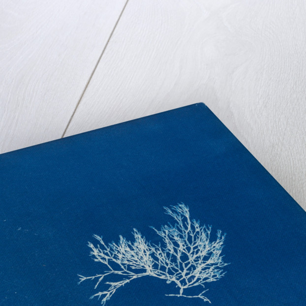 Chylocladia articulata by Anna Atkins