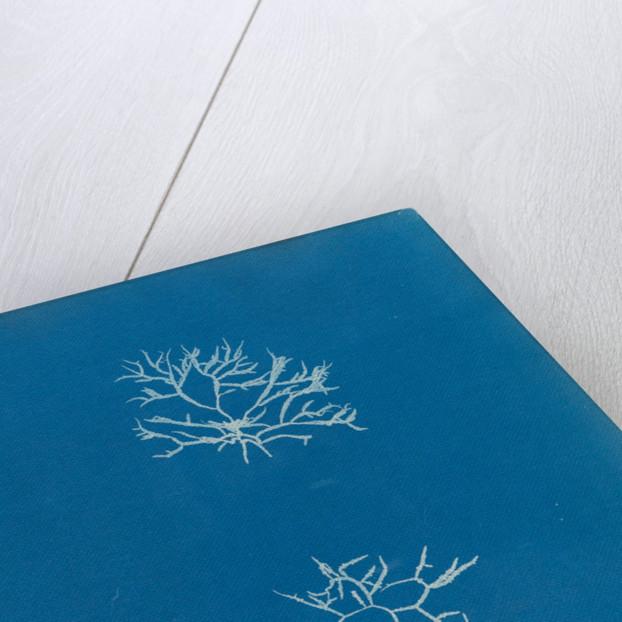 Chylocladia reflexa by Anna Atkins