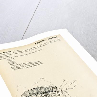 Gammarus fluviatilis by Henry Hallett Dale
